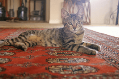 pet stains on rugs