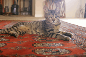 Cat laying on oriental rug